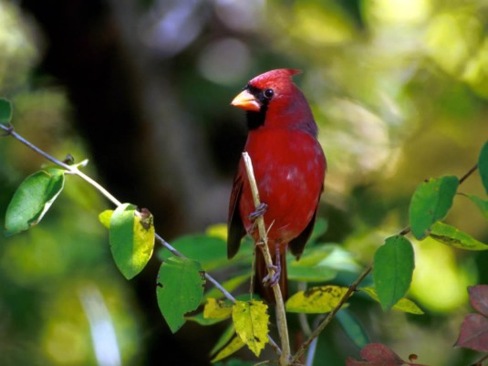 Cardinal_f
